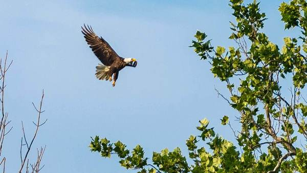 Learning to Fly: Bald eagles at ND-LEEF